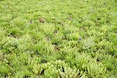 Background of Purple Wild Orchids Blooming in the Green Fields of Nyika Plateau, Malawi, Africa
