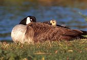 stock photo of honkers  - Goslings - JPG