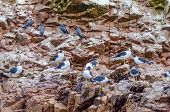 Islas Ballestas, Peru - birds (Inca terns and seagulls)