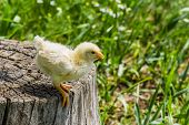 Chicken On A Stump In A Sunny Spring Day