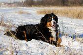 Bernese dog outdoor