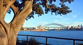 Moreton Bay Fig Tree Frames Opera House & Harbour Bridge