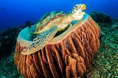 image of green turtle  - Green Turtle in a barrel sponge with an open mouth - JPG