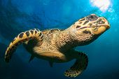 picture of hawksbill turtle  - Hawksbill Sea Turtle - JPG