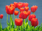 Red Tulips Outdoor Under The Sun