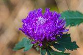 picture of violet flower  - violet flower in garden flowers in wild nature - JPG