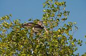 Pelican On The Tree