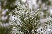 Winter frosty pine branch covered with snow.