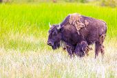 stock photo of wander  - Adult Bison wanders inside Yellowstone National Park - JPG