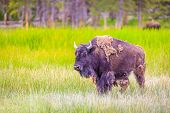 foto of wander  - Adult Bison wanders inside Yellowstone National Park - JPG