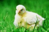 Chick  And Green Grass