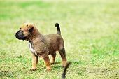 image of belgian shepherd  - young puppy belgian shepherd malinois in field - JPG