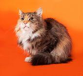 Tricolor Cat Lies On Orange