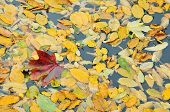 Fall Leaves in the water. Autumn lake, fallen leaves.