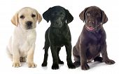 picture of labradors  - puppies purebred labrador retriever in front of white background - JPG