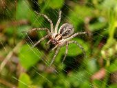 foto of spider web  - Close up of a Funnel Spider in her web - JPG
