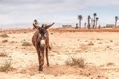 stock photo of wild donkey  - Brown donkey at field at summer. Morocco