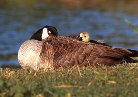 foto of honkers  - Goslings, or baby geese, will lay next to other goslings or adult geese to stay warm.  - JPG