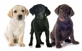 picture of labrador  - puppies purebred labrador retriever in front of white background - JPG