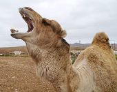 picture of arabian  - A portrait of a Arabian camel or Dromedary with an open mouth on Fuerteventura belonging to Spain  - JPG