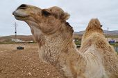image of arabian  - A portrait of a Arabian camel or Dromedary with a facial expression on Fuerteventura belonging to Spain - JPG