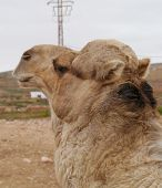 picture of arabian  - A portrait of a Arabian camel or Dromedary with a facial expression on Fuerteventura belonging to Spain - JPG