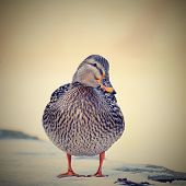 picture of duck-hunting  - Mallard - duck (Anas platyrhynchos) Portrait ducks in the wild ** Note: Visible grain at 100%, best at smaller sizes - JPG