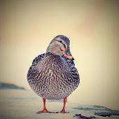 pic of duck  - Mallard - duck (Anas platyrhynchos) Portrait ducks in the wild ** Note: Visible grain at 100%, best at smaller sizes - JPG