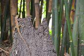 image of monocots  - Lizard in bamboo garden - JPG