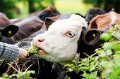 stock photo of calf cow  - Young bull cow eating grass from hands ClouseUp - JPG