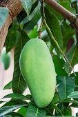 pic of mango  - Close up of mango on a mango tree  - JPG