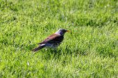 picture of snowbird  - snowbird on the green spring grass  - JPG