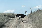 picture of wilder  - Ostrich bird dirt road wilderness wildlife eserve park - JPG