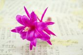 stock photo of decoupage  - Gorgeous pink cactus flower on a decoupage board - JPG