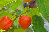 stock photo of angiosperms  - Physalis red ripe in the garden in autumn - JPG