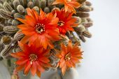 foto of decoupage  - Beautiful orange cactus flower ona a wooden table - JPG
