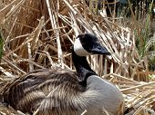 foto of honkers  - closeup of nesting canada goose - JPG