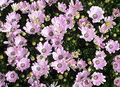 image of abundance  - Pink daisy like flowers with blue pistils and an abundance of buds full frame horizontal background - JPG
