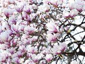 stock photo of magnolia  - Pink Magnolia Blossoms - JPG