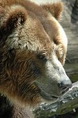 stock photo of grizzly bear  - an up close shot of a tough grizzly bear - JPG