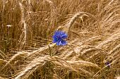 Cornflower Among The  Wheat.