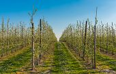 picture of orchard  - Orchard filled with blooming apple trees on a day in spring - JPG