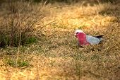 picture of cockatoos  - Wild Galah Cockatoo bird on farming field