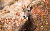 Bighorn Ewe In Fall Color