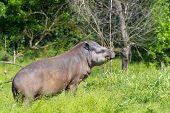 stock photo of lowlands  - Lowland tapir  - JPG