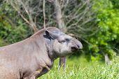 foto of tapir  - Lowland tapir  - JPG