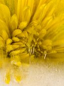 picture of fragile  - Frozen fragile abstraction of water a yellow flower beautiful chrysanthemums and air bubbles - JPG