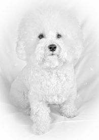 picture of bichon frise dog  - Bichon frise fluffy white dog sitting at the white armchair and looking at the camera - JPG