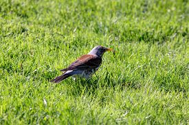 image of snowbird  - snowbird on the green spring grass  - JPG