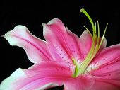 Pink Day Lilly